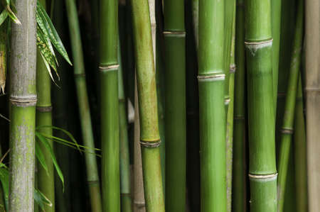 Close up of a vibrant green bamboo forest, with green leaves