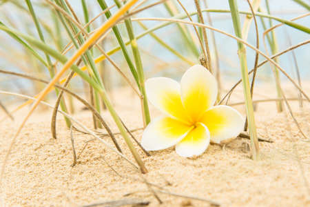 Frangipani flower on the sand surrounded by beach grass.