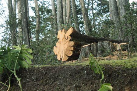 felled: felled tree