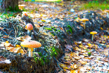 fairy toadstool: Group of toadstools
