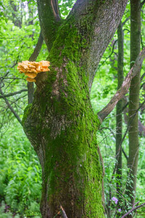 Tree trunk covered with green moss and sulfur-yellow fungus Laetiporus Sulphureus on it also known as