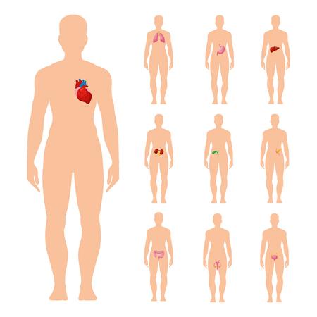 Menschliche Innere Organe. Standort, Sichthilfe Für Medizinische ...