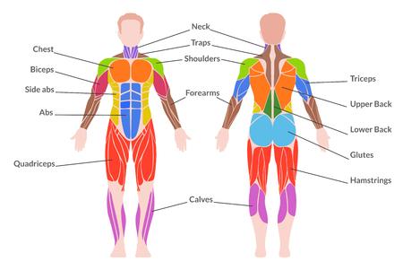 Menschliche Muskulatur. Medizinisches Plakat des Mannorgansystems, das aus den Skelett-, glatten und Herzmuskeln in der Farbe mit Text besteht. Vector die flache Artkarikaturillustration, die auf weißem Hintergrund lokalisiert wird