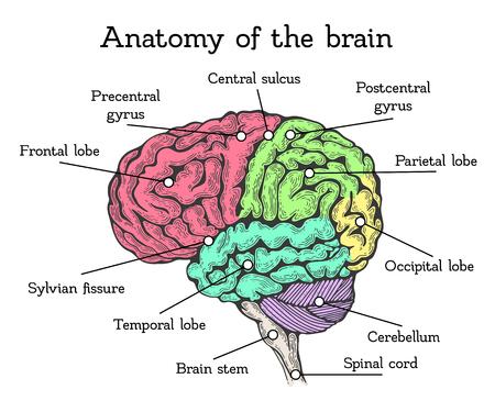 Brain anatomy color scheme Stock Illustratie