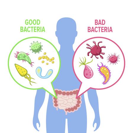 Human intestinal flora vector illustration. Intestinal gut good and bad bacteria visualization. Human gut flora inforgraphic image. Illustration