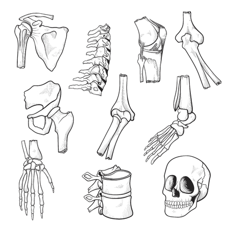 Human bones and joints sketch. Drawing parts of human skeleton, connection between bones in the body. Vector illustration isolated on white background Иллюстрация