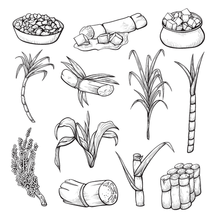 Schizzo di piante di canna da zucchero, agricoltura e agricoltura. Piantagione tropicale. Illustrazione di arte di linea vettoriale isolato su sfondo bianco