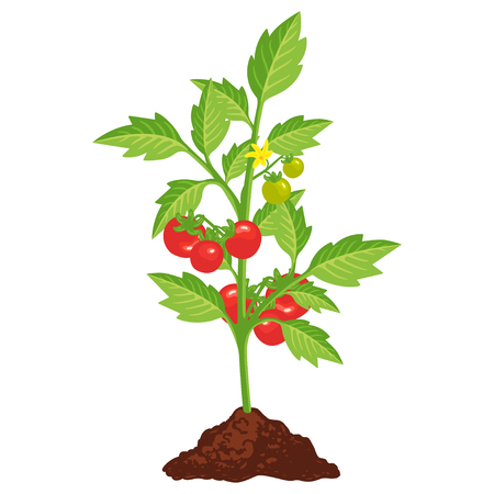 Tomato bush icon with small red vegetables. Garden plant, health salad ingredient. Vector flat style cartoon illustration isolated on white background Reklamní fotografie - 122595155