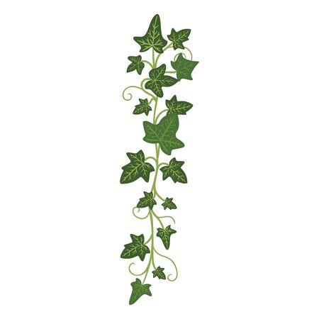 Ivy branch, woody evergreen decorative climbing plant. Vector flat style cartoon illustration isolated on white background Ilustracja
