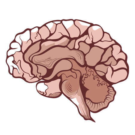 Brain, cerebrum, encephalon in section anatomical hand drawn icon. Brainstorming, mind.