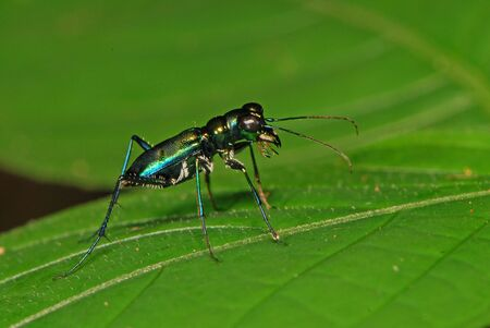 tiger beetle: Tiger beetle Stock Photo