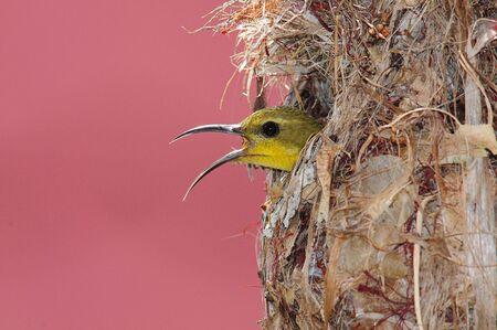 incubate: Sunbird In The Nest Stock Photo