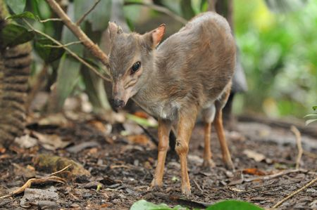 Mousedeer in The wild
