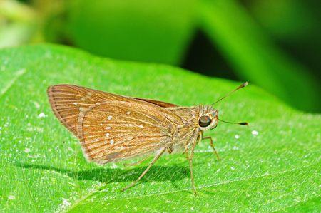 entomological: Skipper Butterfly Resting On A Leaf