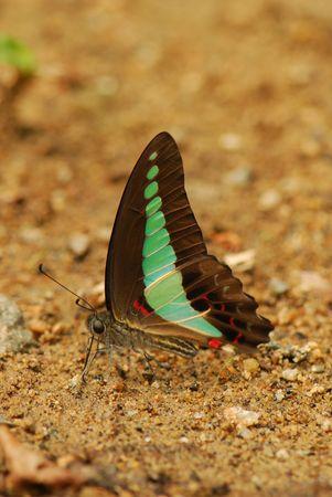 entomological: Butterfly Blue Bottle Stock Photo