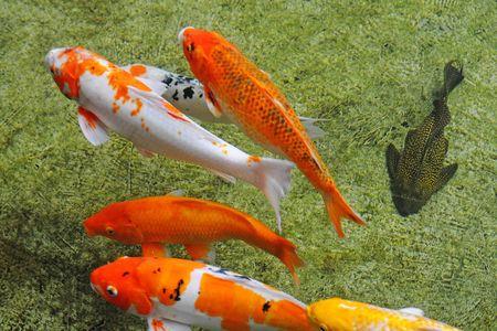 Koi  carps swimming in the Pond