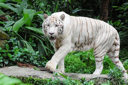 White Tiger  On The Prowl photo