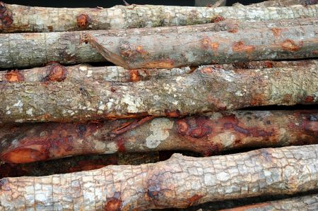 sturdy: Wood Of Mangrove Trees Used For Foundation Work