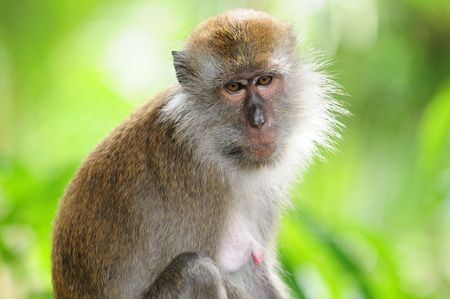 Monkey, Long Tailed Macaques photo