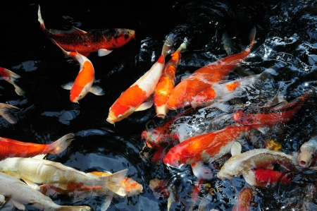 feeding frenzy: Koi Carps Swimming In The Water Stock Photo