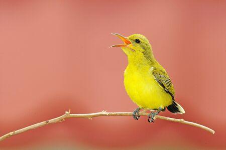 sunbird: A Young Sunbird  Perch On A Branch