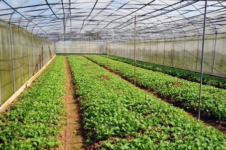 sheltered: Vegetable Farming In Sheltered Nets