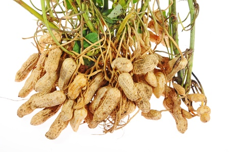 Groundnut Plants With Nuts Attached At The Roots Stock Photo