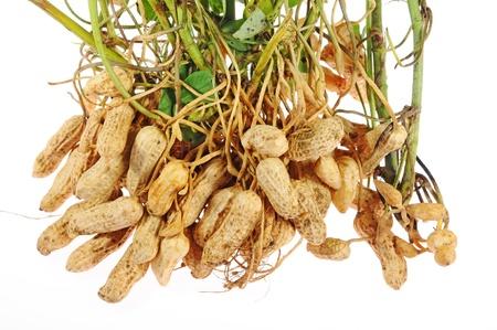 cacahuate: Plantas de cacahuate con frutos secos en las ra�ces adjunta