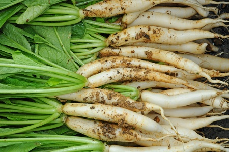 Freshly Harvested White Radish Plants photo