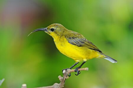 sunbird: Olive Backed Female Sunbird On A Perch Stock Photo