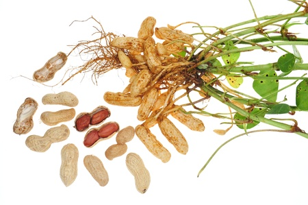 groundnut: Groundnut Plant With Roots And Groundnuts Stock Photo