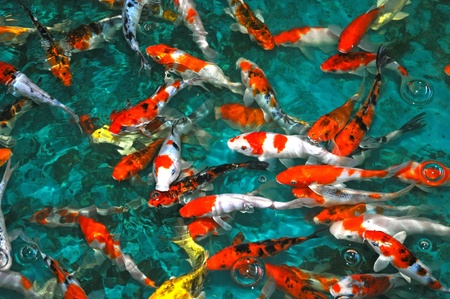 Koi Carps Swimming In The Water Stock Photo
