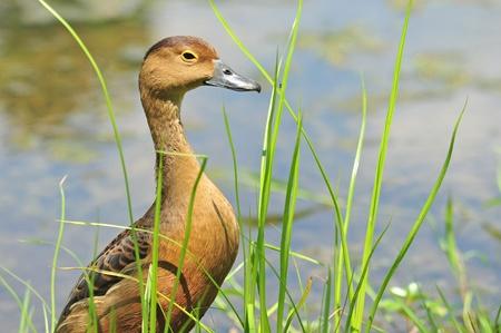 waterbird:  Lesser Whistling Duck Stock Photo