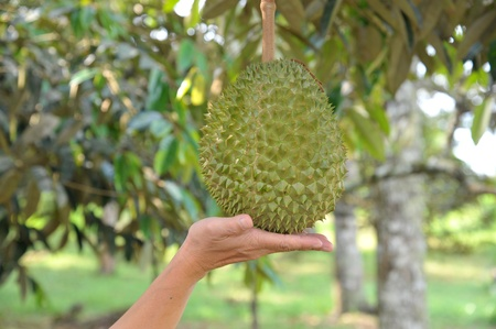 king size: Hand Touching A Durian Fruit Stock Photo