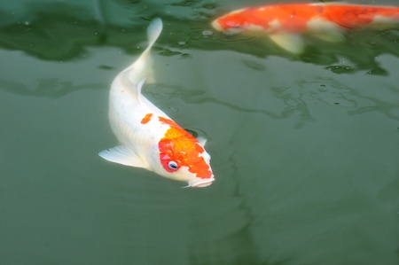 Koi Fish Swimming In The Pond photo
