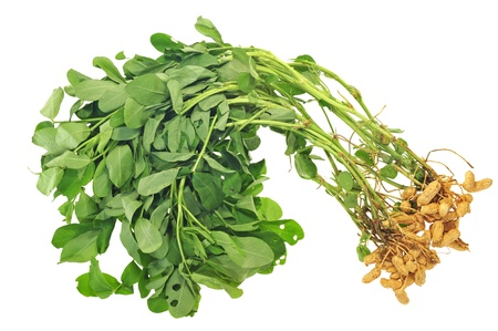 Whole Groundnut  Plants With Nuts Attached