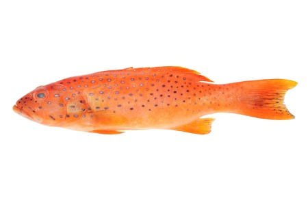 Red Grouper Fish Isolated On White Background