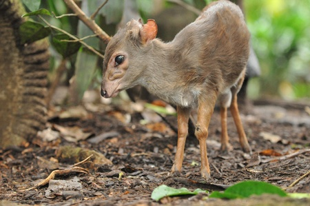 Mousedeer  In A Forest