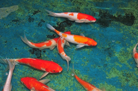 koi fish pond: Japanese Koi Swimming In The Water Stock Photo