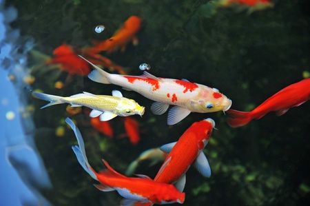 ponds:  Koi  Carps Swimming In The Pond  Stock Photo
