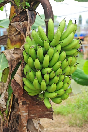 un cook: Bunch Of Banana Hanging On A Banana Tree