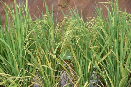padi: Close-up Of Rice Stalks In A Paddy Field