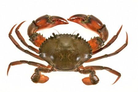 eight legs: Closeup Of A Crab Isolated On White Background