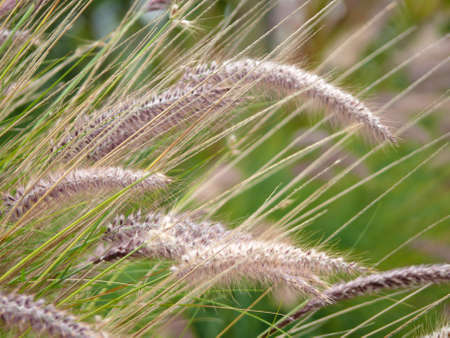 golden: golden grass