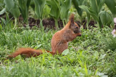 brown squirrel in garden photo