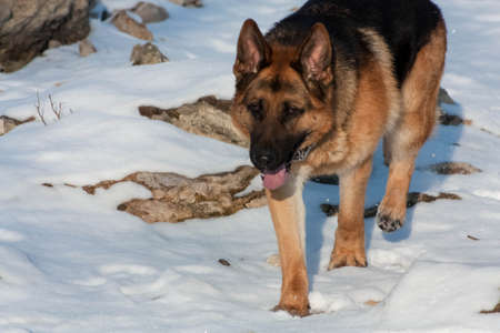 shepperd: german shepperd playing in the snow