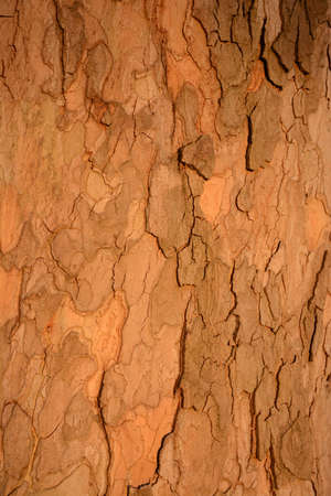 coral bark: Bark plane tree texture close up