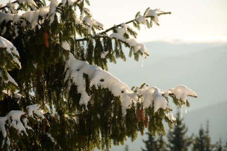Fir tree branches with cones in snow. Winter time in the mountains background
