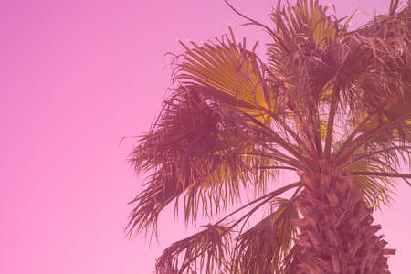 Palm tree background toned in Plastic Pink color of the year 2019. Creative design, exotic background with copy space