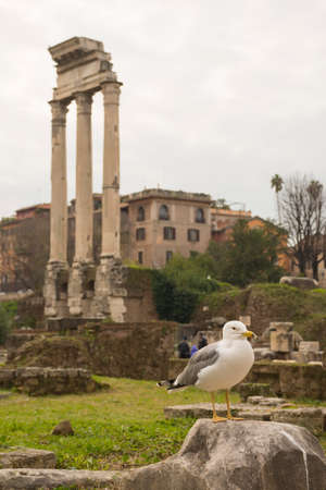 Roman Forum ruins and seagull in Rome, Italy. Italian ancient buildings and famous landmarks